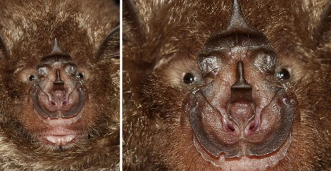 Rhinolophus Nose leaf - Horse shoe nosed bat