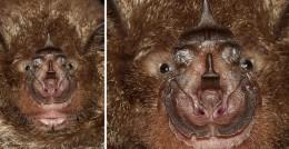 Rhinolophus Nose leaf - Horse shoe nosed bat