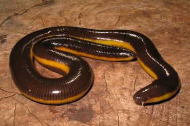 Ichthyophis Davidi - a newly described species from the region.